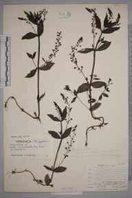 Veronica anagallis-aquatica herbarium specimen from Catford,Bromley Hill, VC16 West Kent in 1904 by William Henry Griffin.