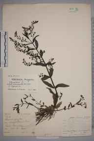 Veronica anagallis-aquatica herbarium specimen from Lower Barnsley, VC9 Dorset in 1899 by Rev. Edward Francis Linton.