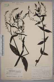 Veronica anagallis-aquatica herbarium specimen from Bere Regis, VC9 Dorset in 1921 by Ida Mary Roper.