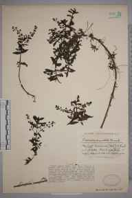 Veronica anagallis-aquatica herbarium specimen from Barrow Gurney, VC6 North Somerset in 1933 by Mr Harold Stuart Thompson.