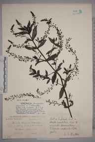 Veronica anagallis-aquatica herbarium specimen from Oxford, Port Meadow, VC23 Oxfordshire in 1936 by John Frederick Gustav Chapple.