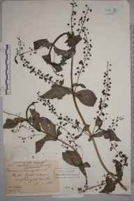 Veronica anagallis-aquatica herbarium specimen from Reigate Heath, VC17 Surrey in 1884 by Mr William Hadden Beeby.