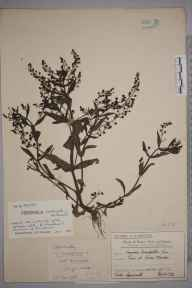 Veronica anagallis-aquatica herbarium specimen from Lower Morden, VC17 Surrey in 1911 by Mr Charles Edward Britton.