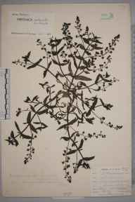 Veronica anagallis-aquatica herbarium specimen from Northfleet, VC16 West Kent in 1901 by William Henry Griffin.