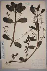 Veronica beccabunga herbarium specimen from Catford, VC16 West Kent in 1900 by William Henry Griffin.