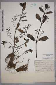 Veronica beccabunga herbarium specimen from Mitcham Common, VC17 Surrey in 1894 by M D.