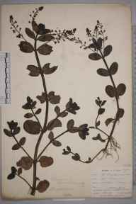 Veronica beccabunga herbarium specimen from Lostwithiel, VC2 East Cornwall in 1901 by Mr Allan Octavian Hume.