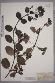Veronica beccabunga herbarium specimen from Great Bookham Common, VC17 Surrey in 1953 by Mrs Joan Frances Hall.