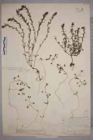 Veronica chamaepitys herbarium specimen from Leith Docks, VC83 Midlothian in 1906 by James Fraser.