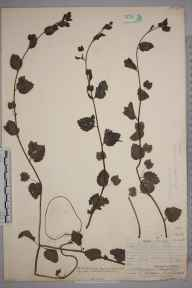 Veronica crista-galli herbarium specimen from Henfield, VC13 West Sussex in 1906 by Thomas Hilton.