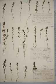 Euphrasia scottica herbarium specimen from Betty Hill,Loch Mor, VC108 West Sutherland in 1897 by Rev. Edward Shearburn Marshall.