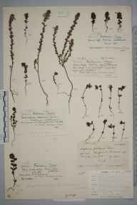 Euphrasia foulaensis herbarium specimen from Ollaberry, VC112 Shetland in 1896 by Mr William Hadden Beeby.