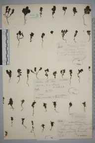 Euphrasia foulaensis herbarium specimen from Melvich, VC108 West Sutherland in 1897 by Rev. Edward Shearburn Marshall.