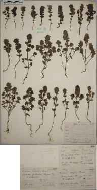 Euphrasia marshallii herbarium specimen from Tongue Bay, VC108 West Sutherland in 1897 by Rev. Edward Shearburn Marshall.