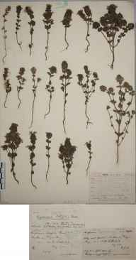 Euphrasia marshallii herbarium specimen from Reay, VC109 Caithness in 1902 by Mr George Claridge Druce.