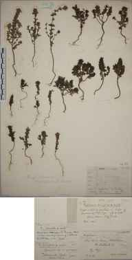 Euphrasia marshallii herbarium specimen from Loch Naver, VC108 West Sutherland in 1897 by Rev. Edward Shearburn Marshall.