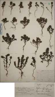 Euphrasia tetraquetra herbarium specimen from Kynance Cove, VC1 West Cornwall in 1879 by Mr James Cunnack.