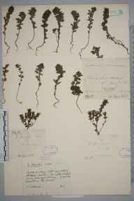 Euphrasia tetraquetra herbarium specimen from Loch Moidart, VC97 West Inverness-shire in 1896 by Symers MacDonald Macvicar.