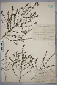 Euphrasia nemorosa herbarium specimen from Saint Leonards Forest, VC13 West Sussex in 1900 by Mr James Walter White.