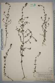 Euphrasia nemorosa herbarium specimen from Aldershot, Hampshire in 1900.