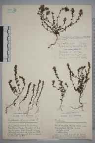 Euphrasia nemorosa herbarium specimen from Bristol, Durdham Down, VC34 West Gloucestershire in 1924 by Mr Harold Stuart Thompson.
