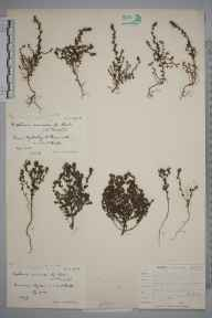 Euphrasia nemorosa herbarium specimen from Warminster, VC8 South Wiltshire in 1903 by Rev. Edward Shearburn Marshall.