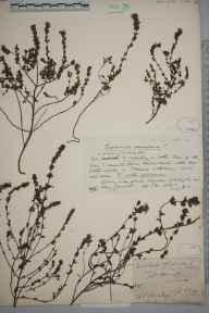 Euphrasia nemorosa herbarium specimen from Old Storridge, VC37 Worcestershire in 1889 by Mr Richard Francis Towndrow.