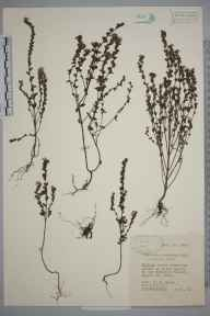 Euphrasia nemorosa herbarium specimen from Wetton, VC39 Staffordshire in 1945 by Eric Smoothy Edees.