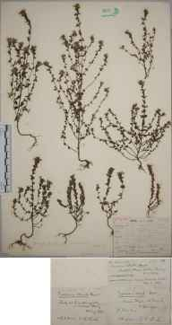 Euphrasia nemorosa herbarium specimen from Farthing Downs, VC17 Surrey in 1903 by William Henry Griffin.