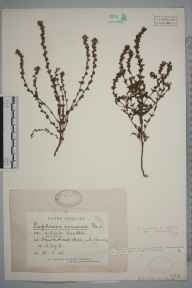 Euphrasia nemorosa herbarium specimen from Hawkshead, VC69 Westmorland in 1926 by Mr William Harrison Pearsall.