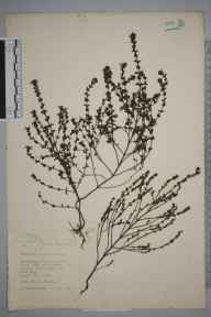 Euphrasia nemorosa herbarium specimen from Newcastle under Lyme, VC39 Staffordshire in 1945 by Eric Smoothy Edees.