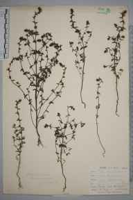 Euphrasia nemorosa herbarium specimen from Farleigh, VC17 Surrey in 1900 by William Henry Griffin.