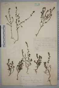 Euphrasia nemorosa herbarium specimen from Hedge Court, VC17 Surrey in 1884 by Mr William Hadden Beeby.
