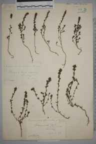 Euphrasia nemorosa herbarium specimen from Reigate Hill, VC17 Surrey in 1884 by Mr William Hadden Beeby.