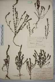 Euphrasia pseudokerneri herbarium specimen from Rothesay, VC100 Clyde Islands in 1900 by Rev. Edward Shearburn Marshall.
