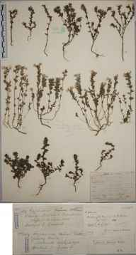 Euphrasia pseudokerneri herbarium specimen from Barlavington Down, VC13 West Sussex in 1901 by Rev. Edward Shearburn Marshall.