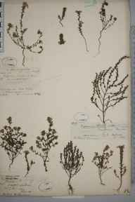 Euphrasia pseudokerneri herbarium specimen from Upper Halling, VC16 West Kent in 1894 by Mr Anthony Hurt Wolley Dod.