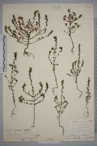 Euphrasia pseudokerneri herbarium specimen from Downe, VC16 West Kent in 1903 by William Henry Griffin.