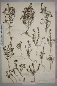 Euphrasia pseudokerneri herbarium specimen from Hayes Common, VC16 West Kent in 1902 by William Henry Griffin.