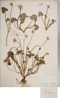 Ranunculus ficaria herbarium specimen from Twycross, VC55 Leicestershire in 1843 by Mr Frederick Townsend.