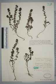 Euphrasia officinalis subsp. pratensis herbarium specimen from Longmorn, VC95 Moray in 1929 by Katherine D Little.