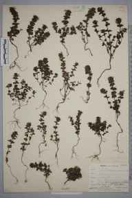 Euphrasia anglica herbarium specimen from Postbridge, VC3 South Devon in 1902 by Mr Allan Octavian Hume.