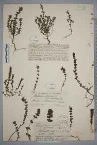 Euphrasia anglica herbarium specimen from Warlingham, VC17 Surrey in 1880 by Mr James Groves.