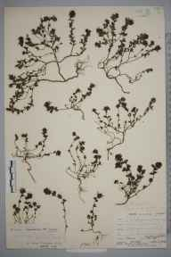 Euphrasia anglica herbarium specimen from Lullingstone Park, VC16 West Kent in 1903 by William Henry Griffin.