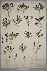 Euphrasia salisburgensis herbarium specimen from Inishmore, VCH9 Co. Clare in 1906 by Robert Albert Phillips.