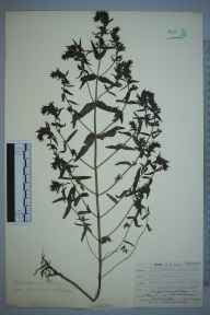 Odontites vernus subsp. serotinus herbarium specimen from Leaves Green, VC16 West Kent in 1909 by William Henry Griffin.