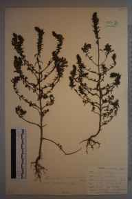 Odontites vernus subsp. serotinus herbarium specimen from Kenley, VC17 Surrey in 1900 by William Henry Griffin.