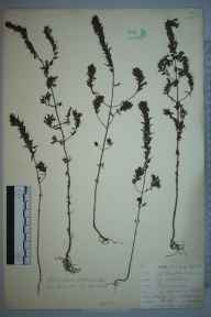 Odontites vernus subsp. serotinus herbarium specimen from Northfleet, VC16 West Kent in 1901 by William Henry Griffin.