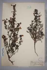 Pedicularis palustris herbarium specimen from Thetford, VC26,VC28 in 1850 by Mr Frederick Townsend.