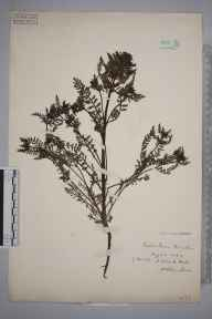 Pedicularis palustris herbarium specimen from Flitwick, VC30 Bedfordshire in 1894 by S A Chambers.